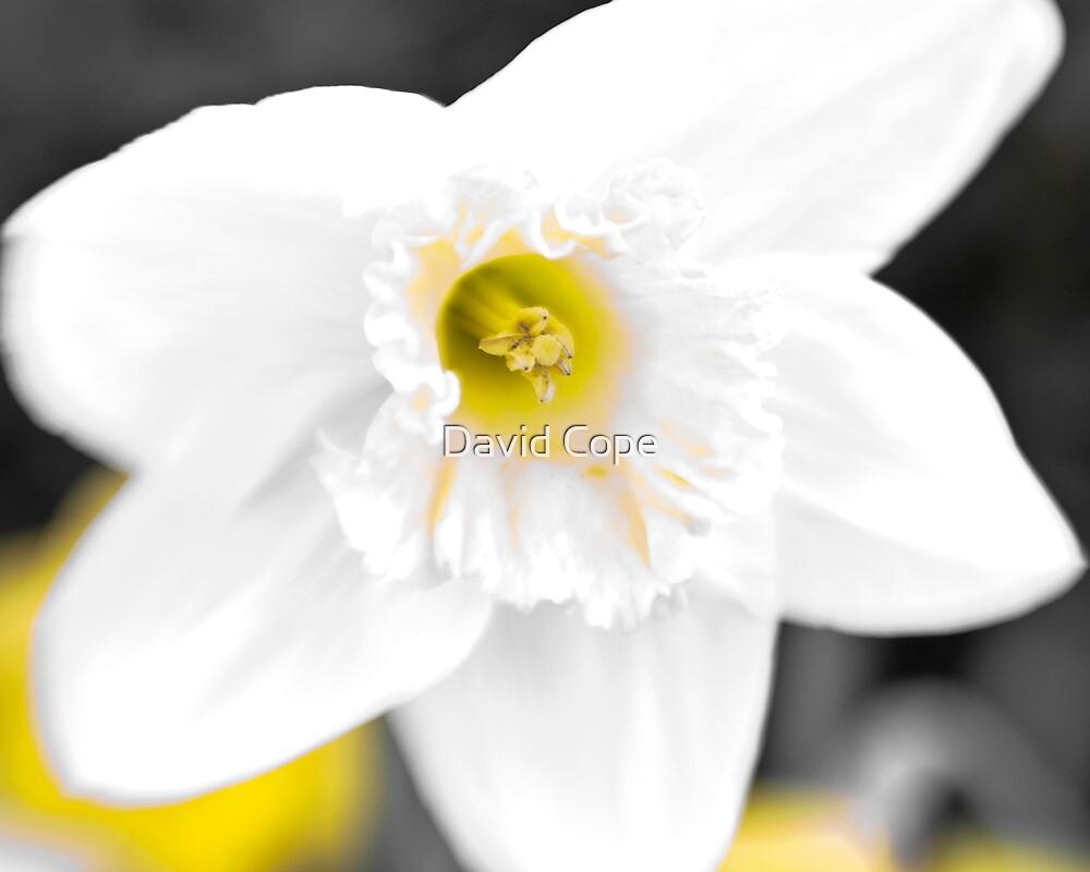 Daffodil 1 by David Cope