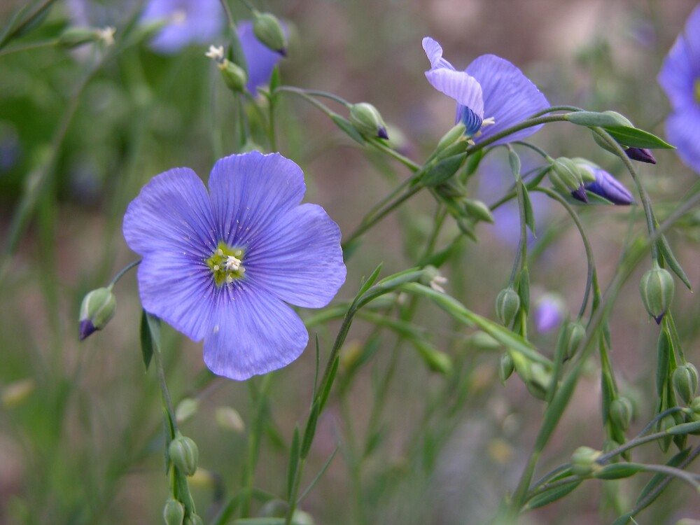 Blue Flax by Ken Gilliland
