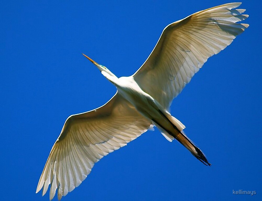 Great White Egret .....underneath the wingspan by kellimays
