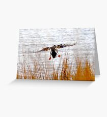 Mallard landing in wind Greeting Card