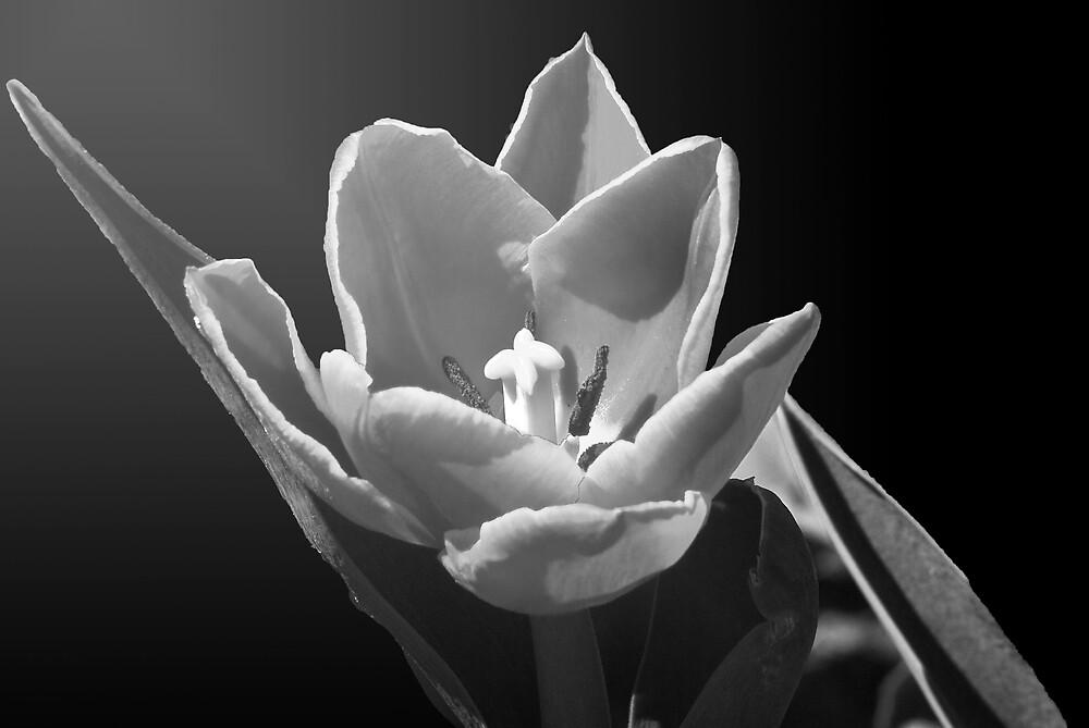 visceral tulip by Robert C Richmond