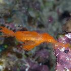 Hairy Ghost Pipefish by Mark Rosenstein