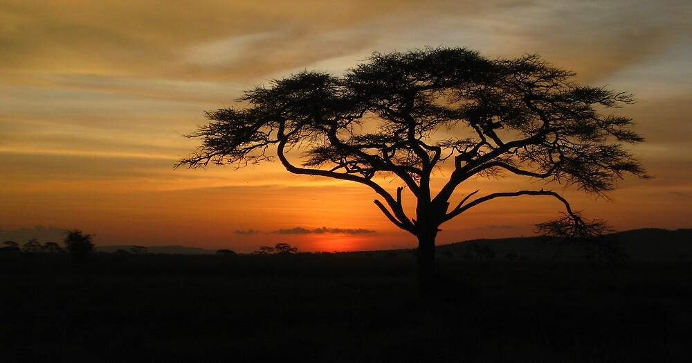 accacia tree by mzungu
