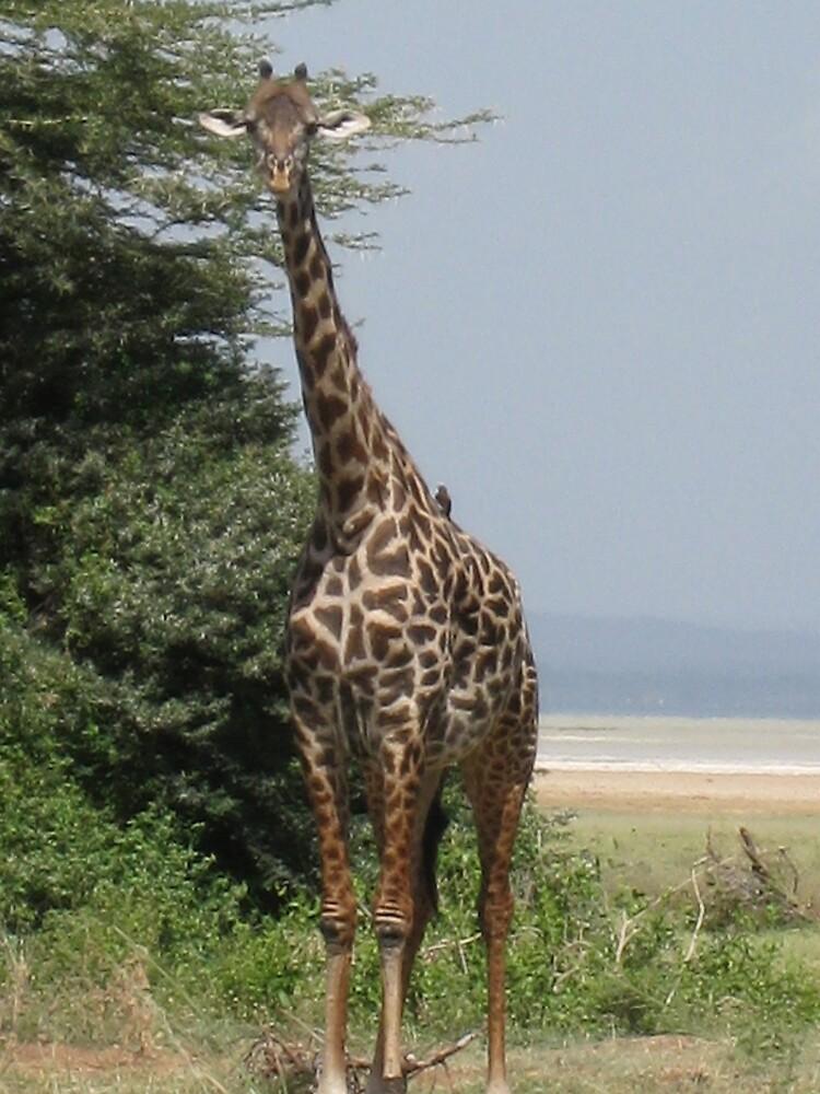 giraffe in serengetti, tanzania by mzungu