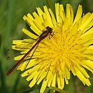 Large Red On Dandylion by Robert Abraham
