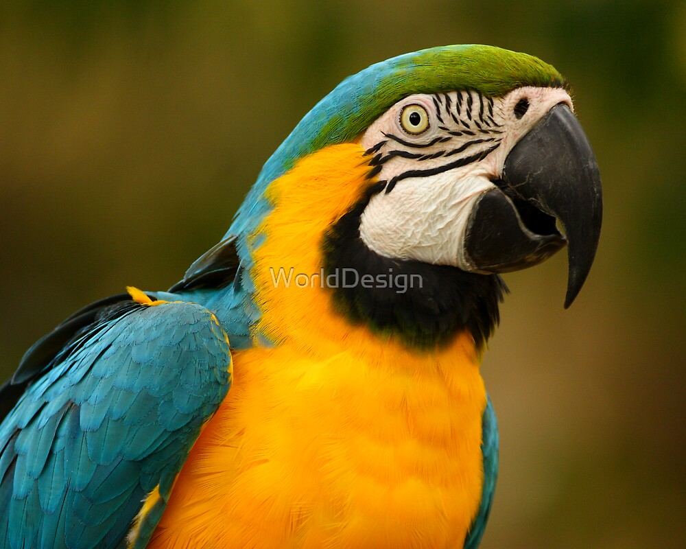 Blue & Yellow Macaw Portrait by WorldDesign