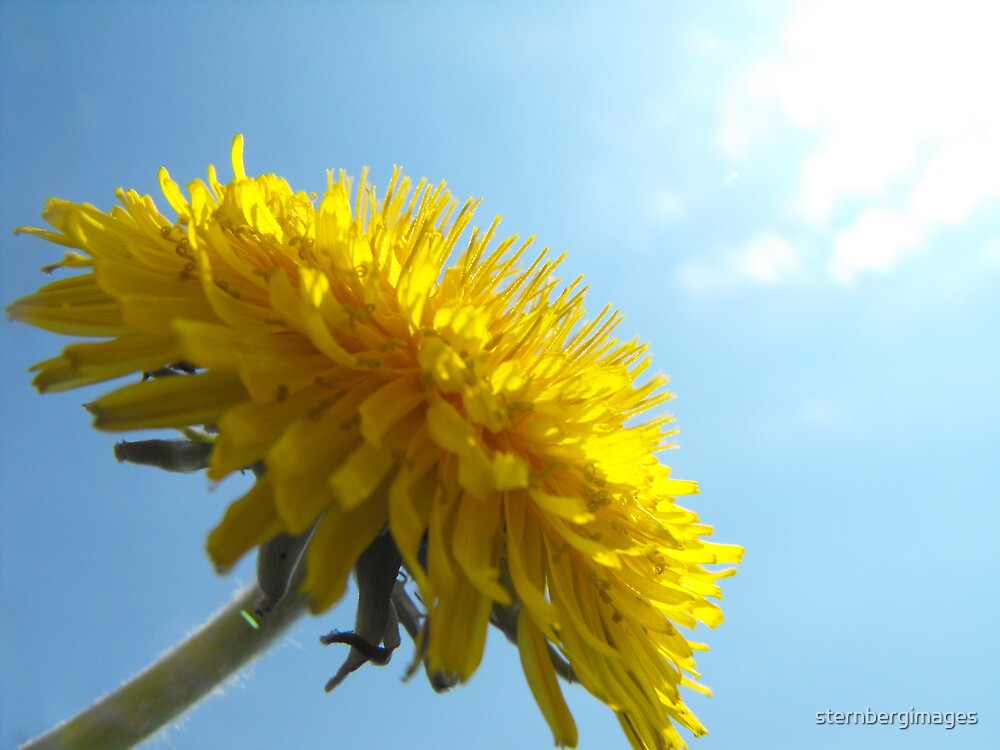 Dandelion in the Sun by sternbergimages