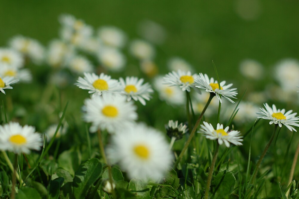 Camomile 01 by David Powell