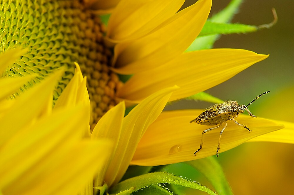 Sunflower and the Insect by Mukesh Srivastava