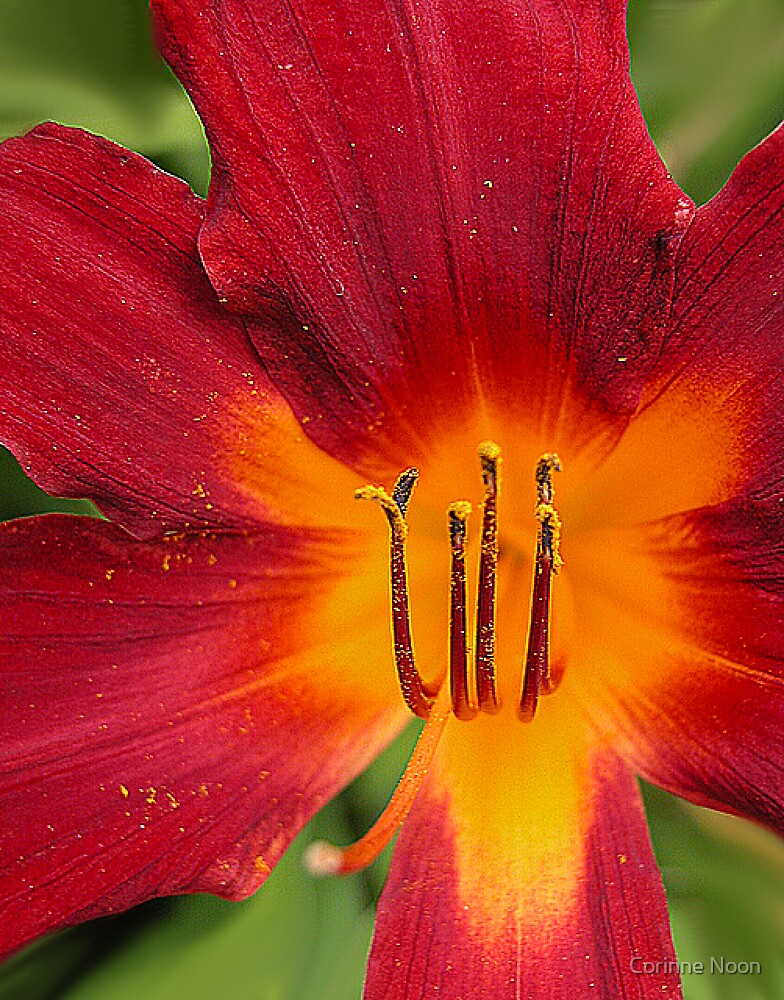 Lily by Corinne Noon