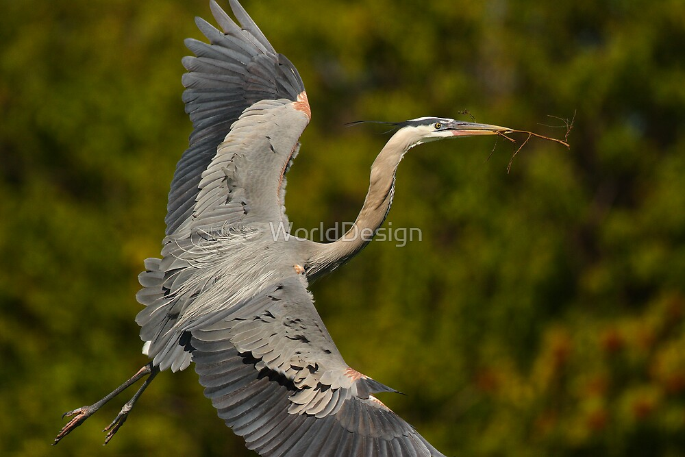 Great Blue Heron in Flight by WorldDesign