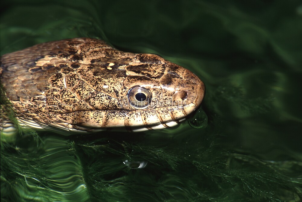 Water Snake by WorldDesign
