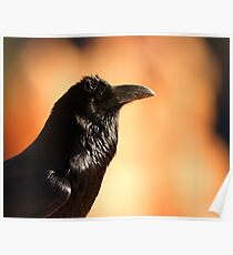 Raven Portrait at Sunset Poster