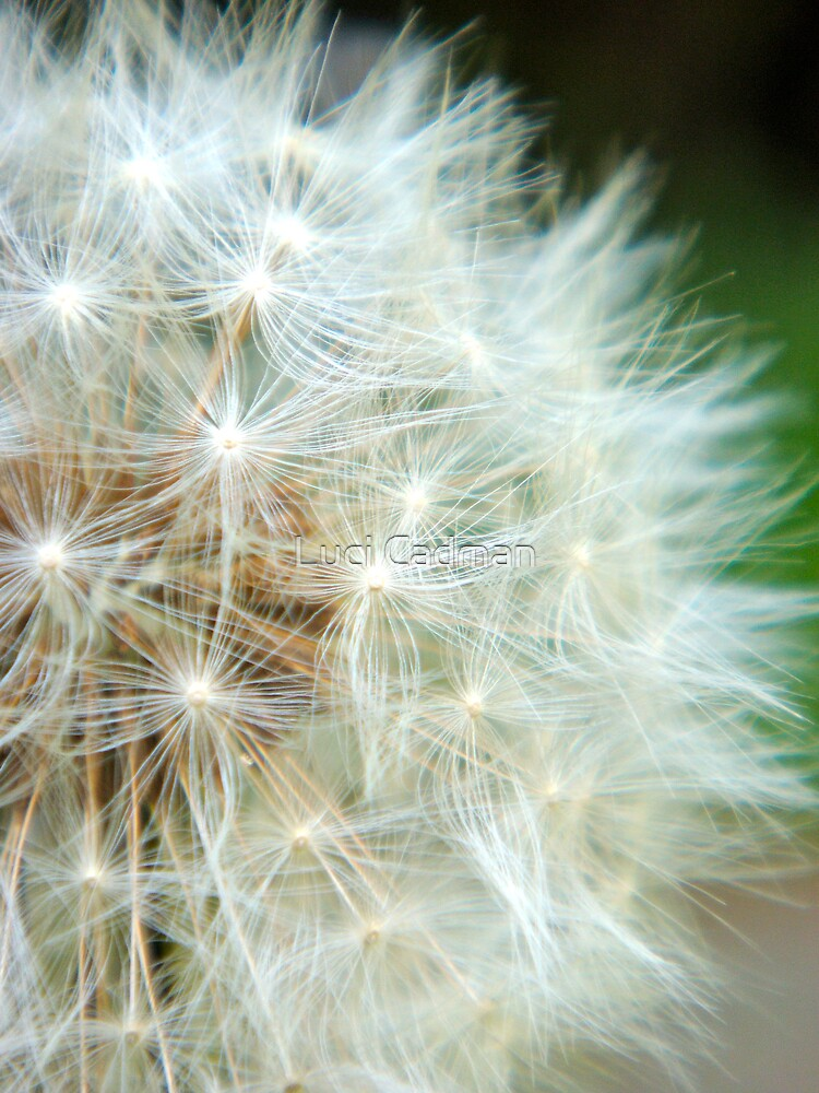 Dandelion wishes by Luci Cadman