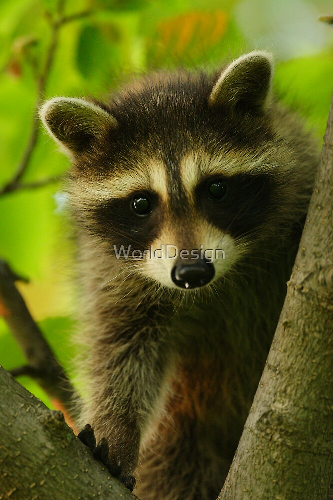 Young Raccoon at Home by WorldDesign