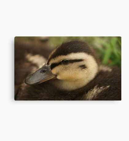 Baby Duckling Canvas Print