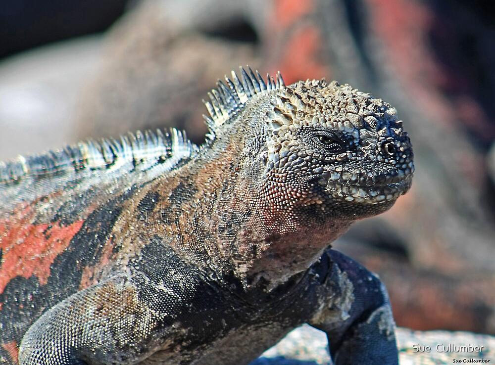Española Iguana by Sue  Cullumber