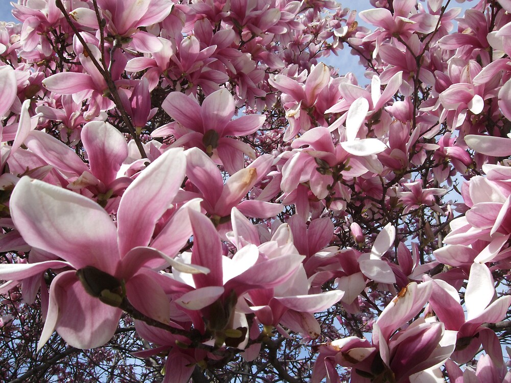 Magnolia-April by nutty11500
