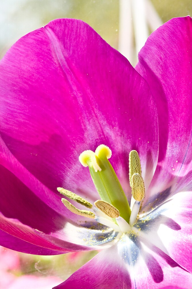 Tulip Fascination by Trudy Wilkerson