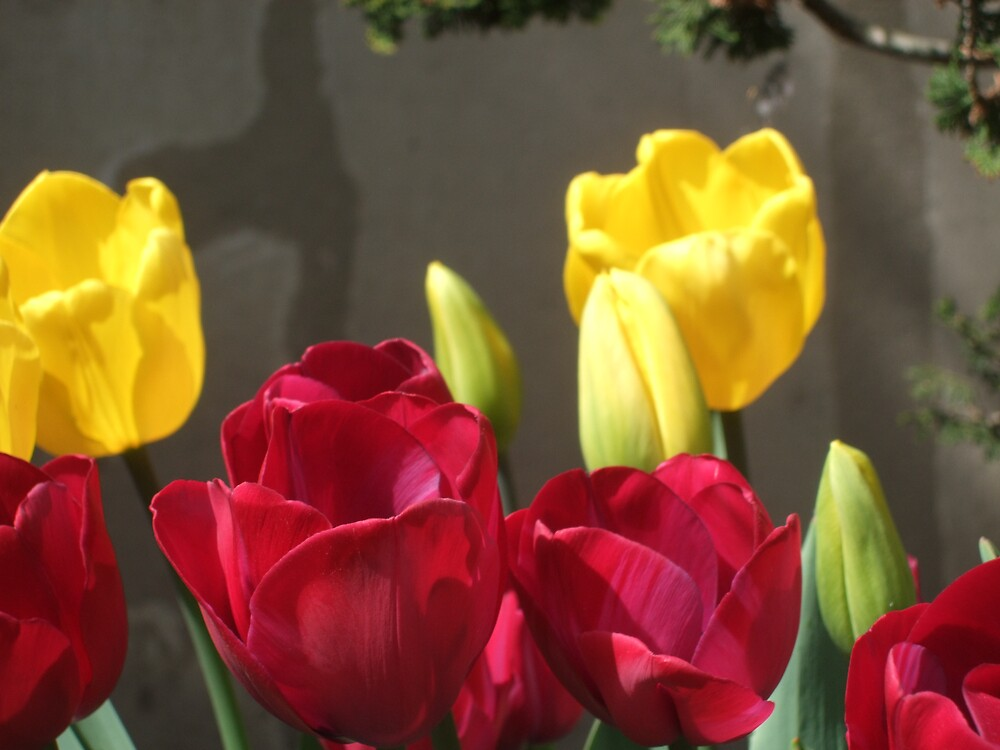 Two Tulips by nutty11500