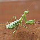 Praying Mantis......'Hello, I'm off for my morning walk.....!!' by Roy  Massicks