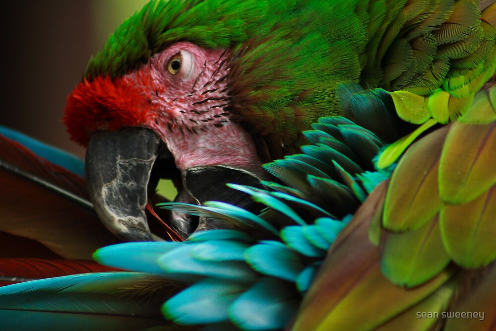 macaw by sean sweeney