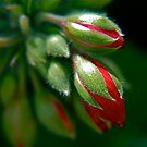 Geranium Buds by Pamela Hubbard