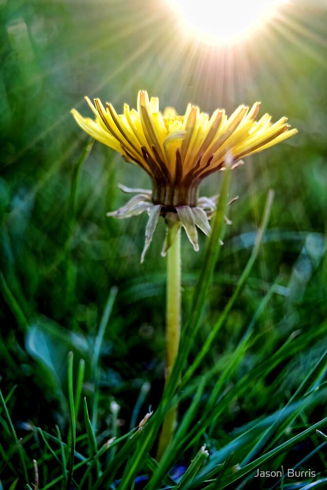 Dandelion by Jason  Burris