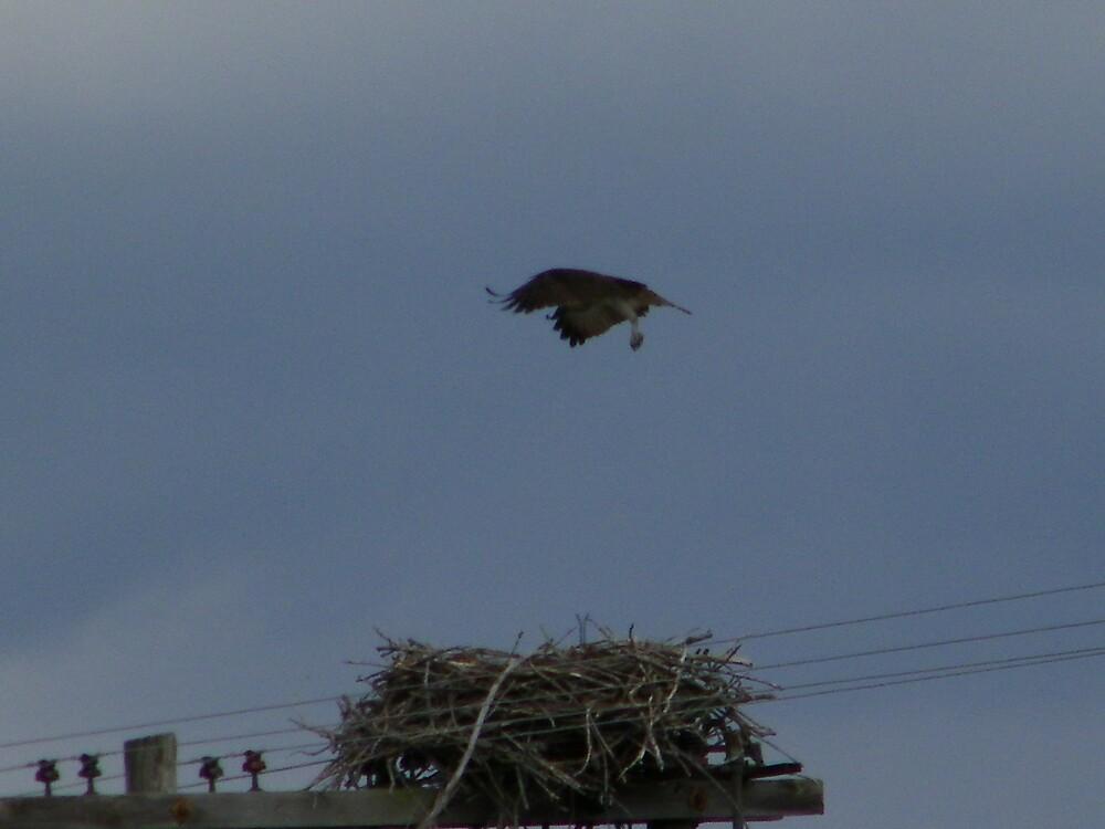 Osprey Hovering over the nest by irishpatti