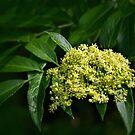 Mexican elderberry bloom by Celeste Mookherjee