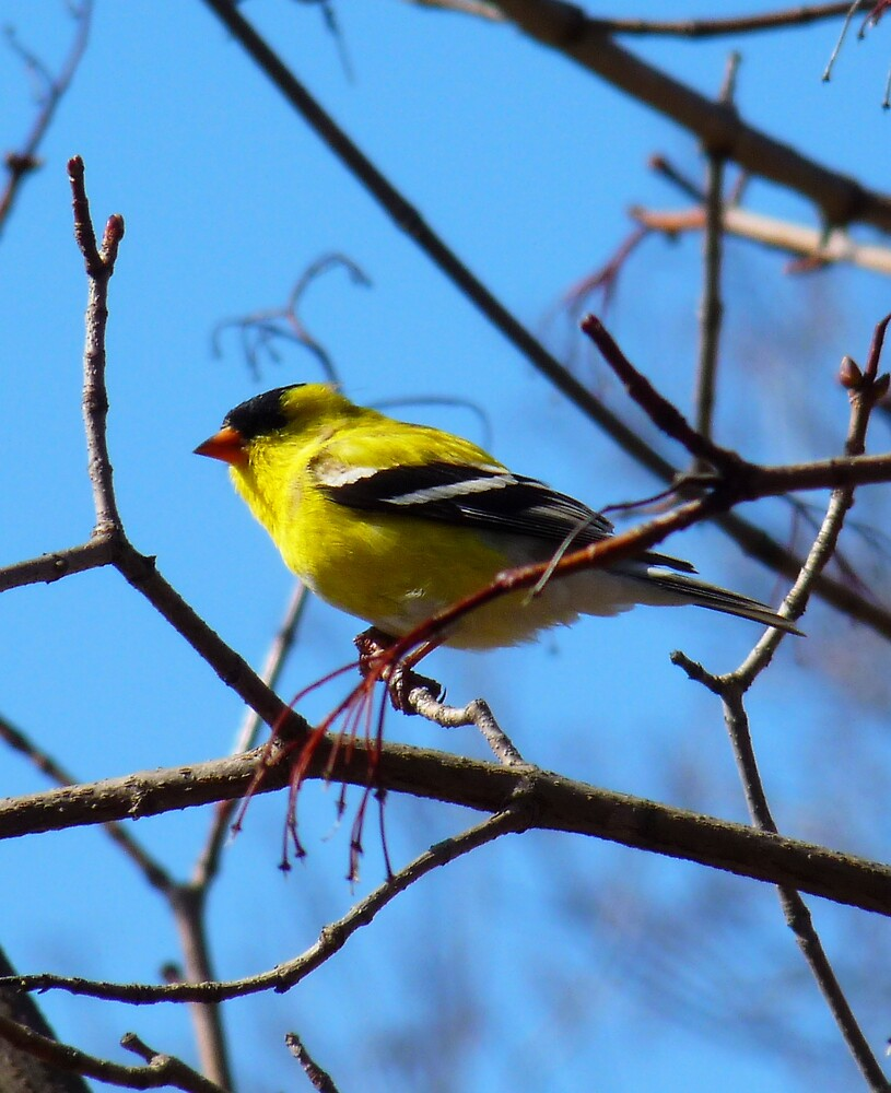 Gold finch, male by phoenix59