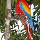 Scarlet Macaw Posing by Carole-Anne