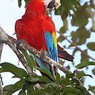 Scarlet Macaw by Carole-Anne