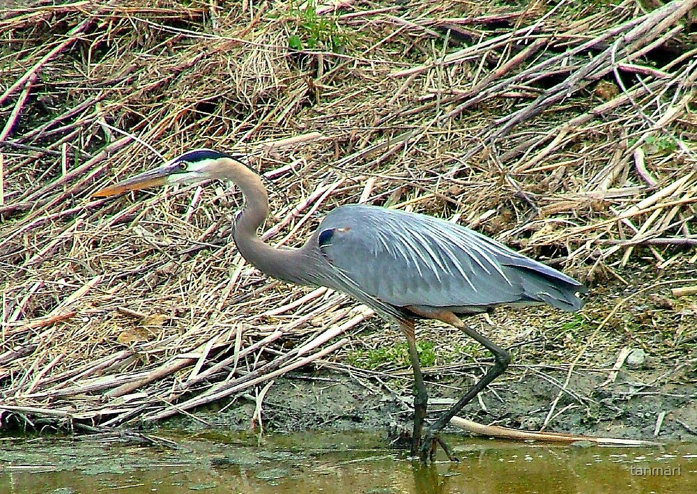 Great blue heron by tanmari