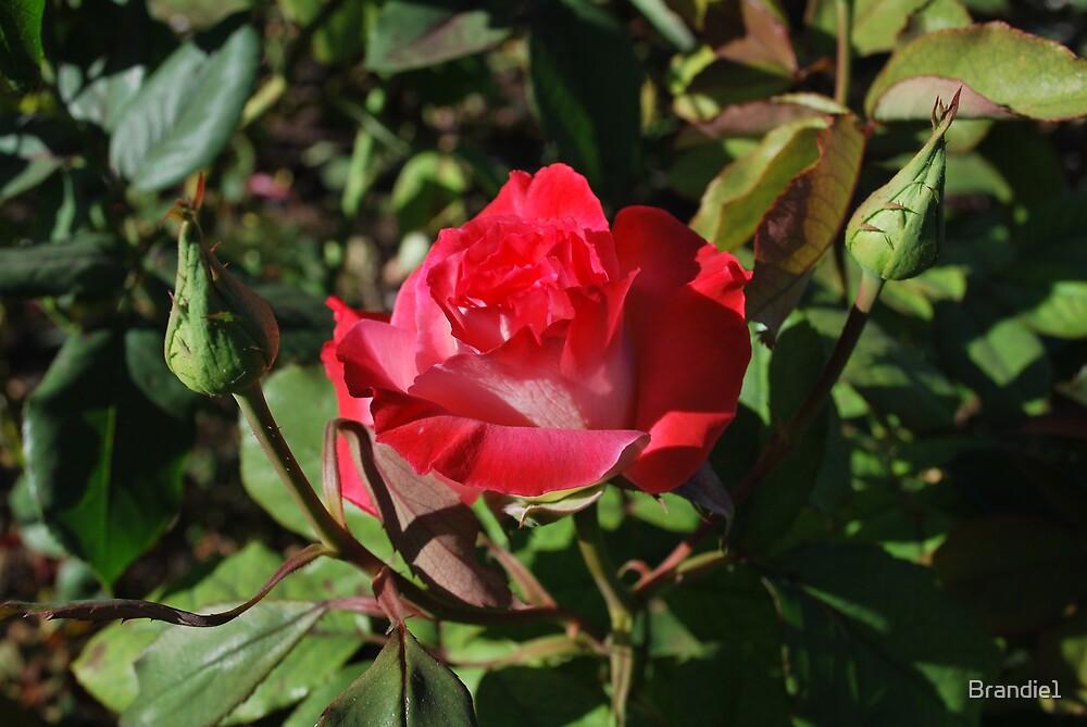 2 toned rose bud. by Brandie1