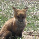 Baby Fox closeup by janetmarston