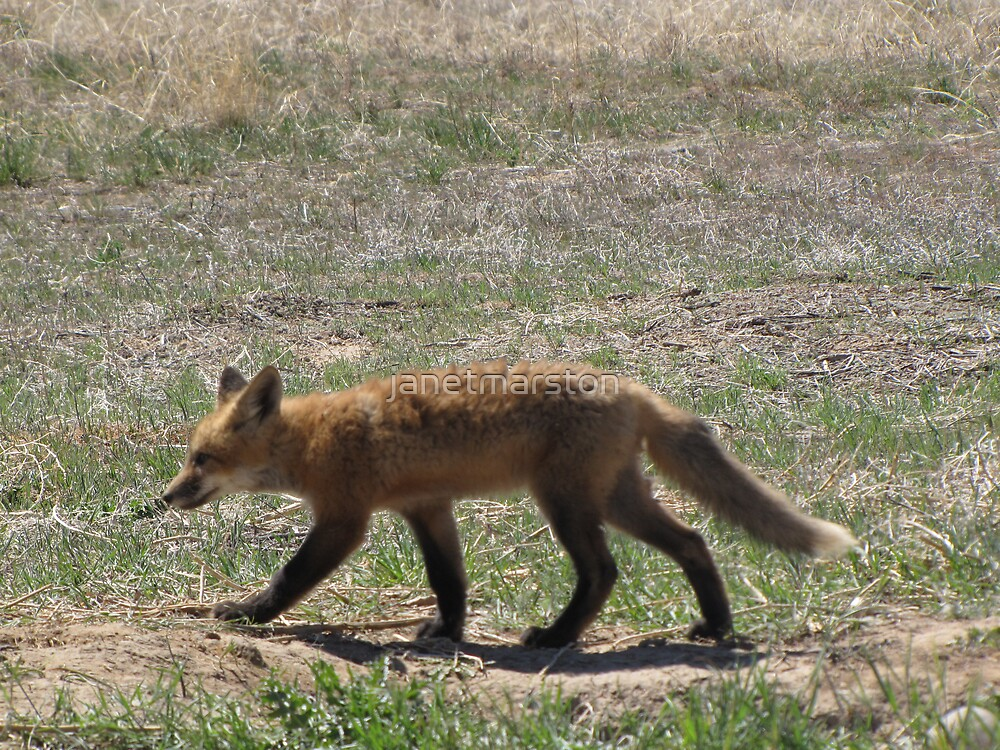 Baby Fox takes a Stroll by janetmarston
