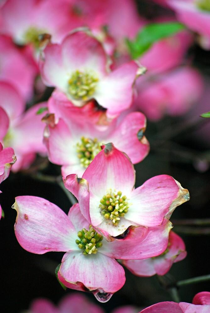 Pink dogwood by Michelle BarlondSmith