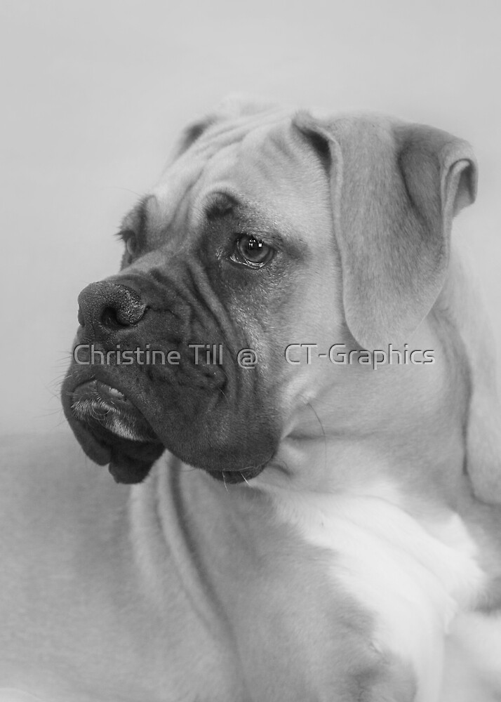 The Boxer - A Gentleman Amongst Dogs by Christine Till  @    CT-Graphics