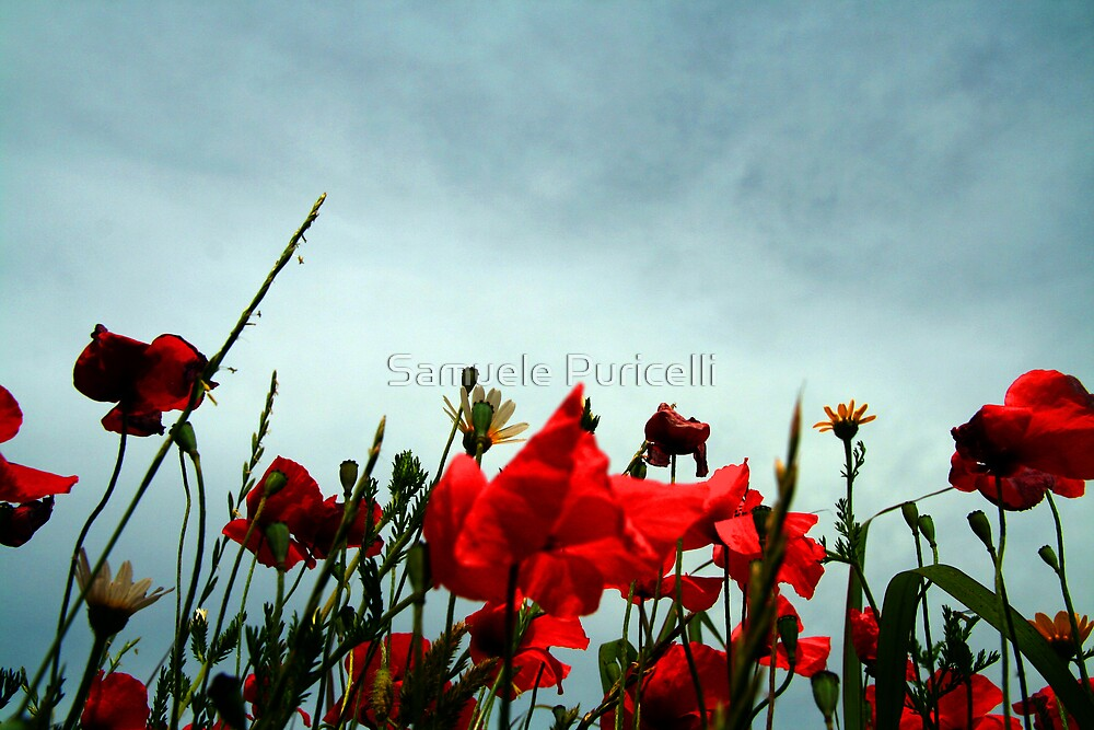Poppies by Samuele Puricelli