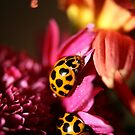 Ladybird Bliss by Steve Chapple