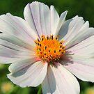 Summer Daisy in Sunshine by Cheri Sundra