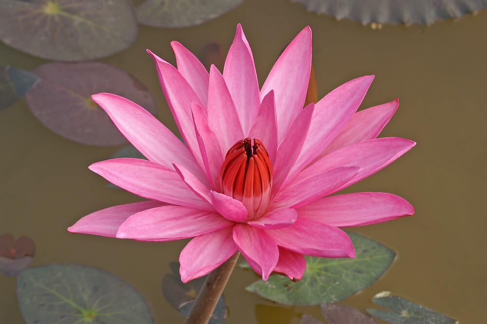 Single Water Lily by Robert George
