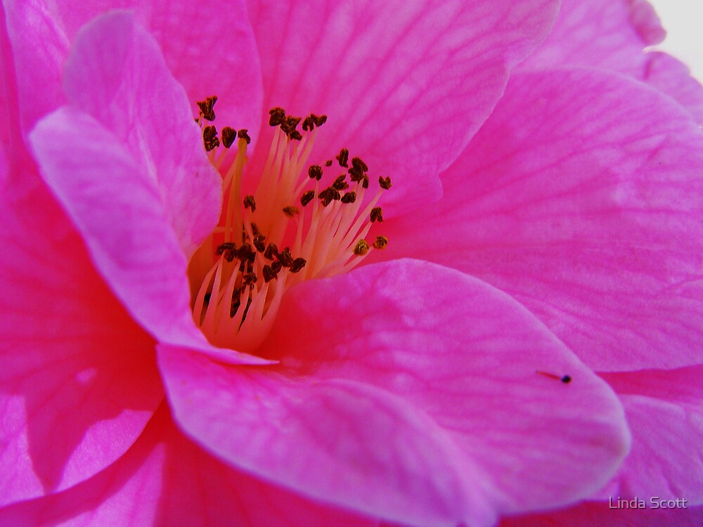 Camellia by Linda Scott