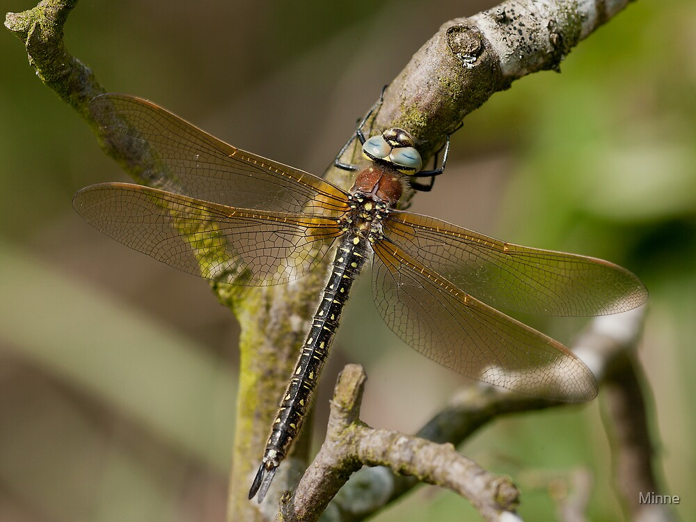 Hairy Dragonfly    (Brachytron pratense) by Minne