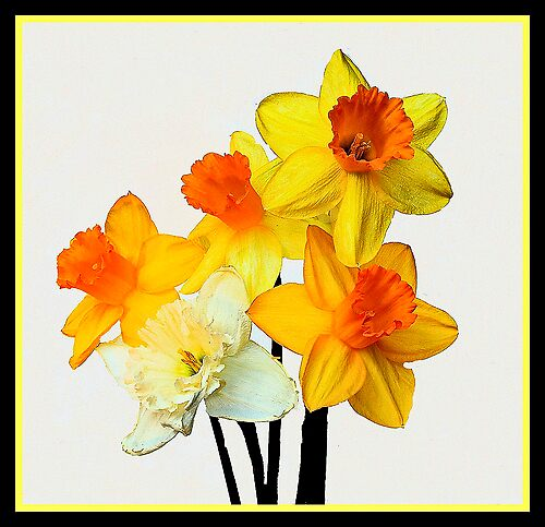 First Daffodils of Spring by stephen Spindler
