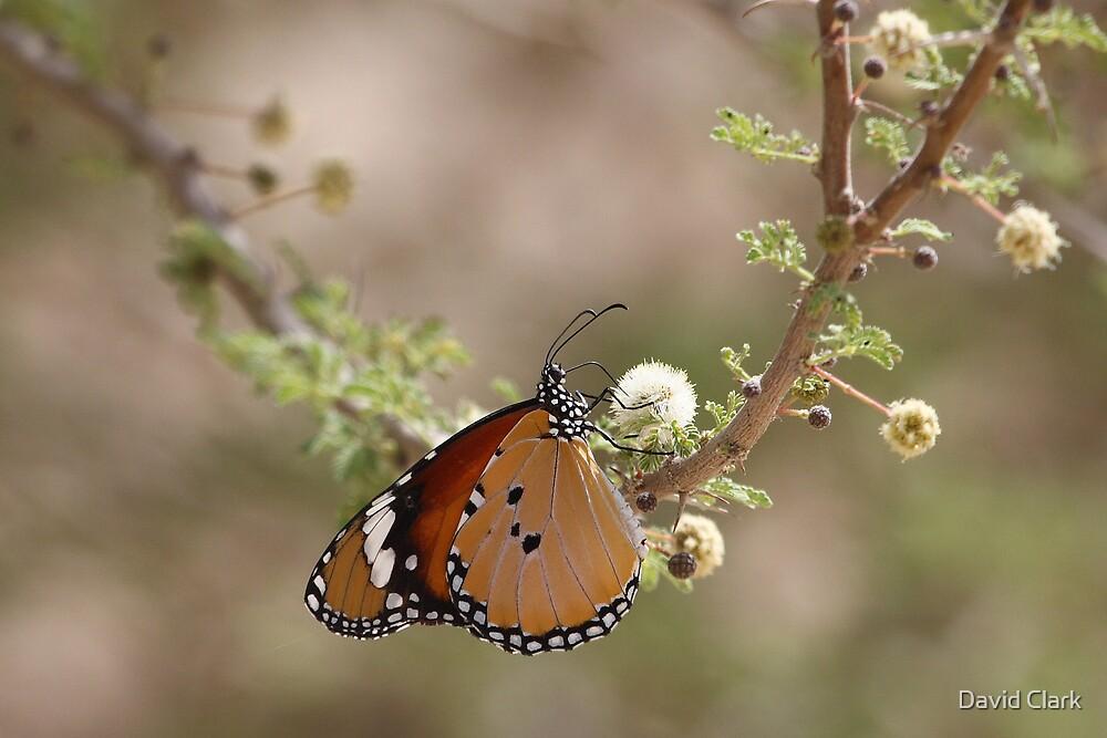 Plain Tiger on Acacia by David Clark