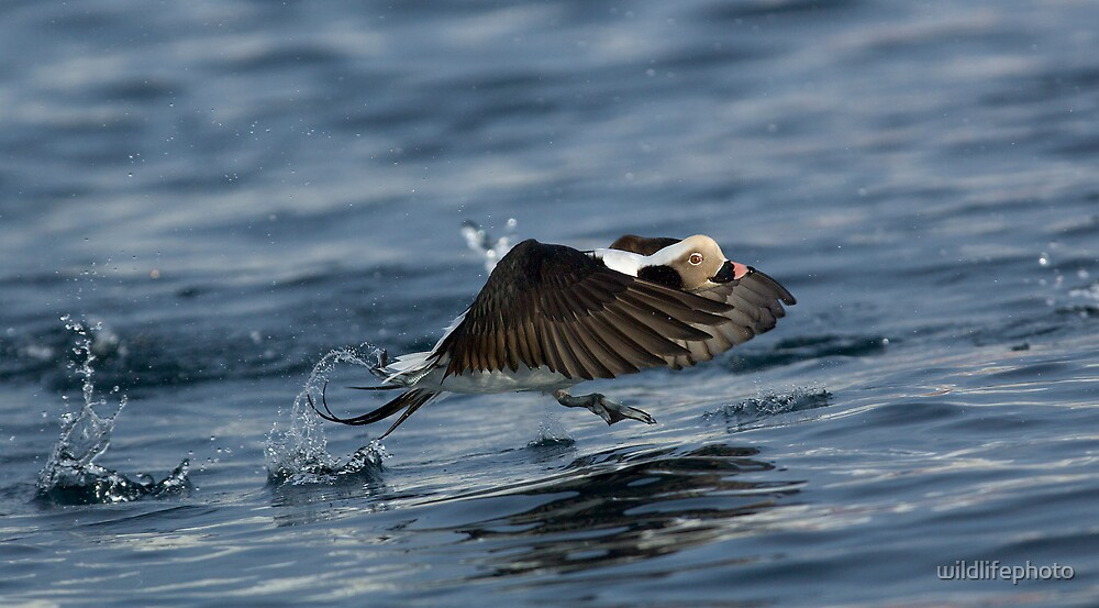 Long-tailed Duck taking flight by wildlifephoto