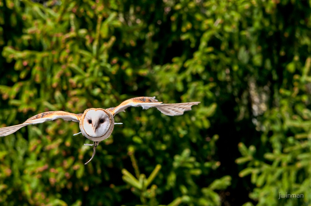 Barn Owl by jwinman