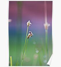 Honeybee Collecting Nectar Poster